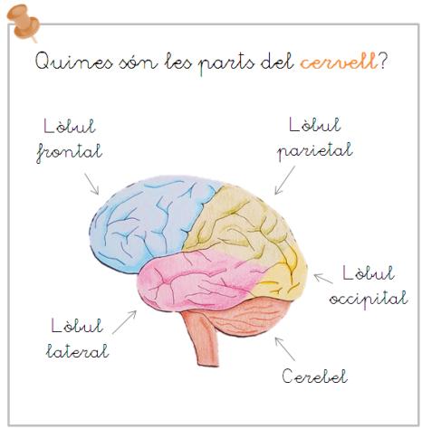 parts cervell